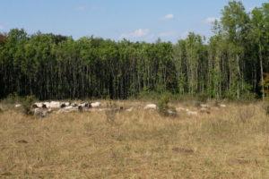 Grünes Band Schafe zur Landschaftspflege