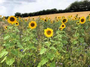 Sommerloch und Sonnenblumen